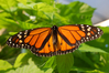 Monarch_Butterfly_Male.jpg