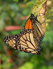 Monarch_Butterfly_Mating_Vertical.jpg